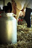 pic of breast-milk  - aluminum bucket to collect the milk in the barn with a cow in the background - JPG