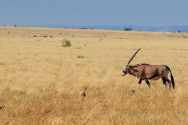 picture of antelope horn  - Majestic gemsbok gemsbuck or oryx walking in Namib Desert Namibia Africa - JPG