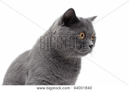 Portrait Of A Cat With Yellow Eyes On A White Background
