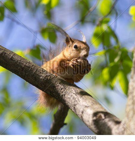 Large Nut