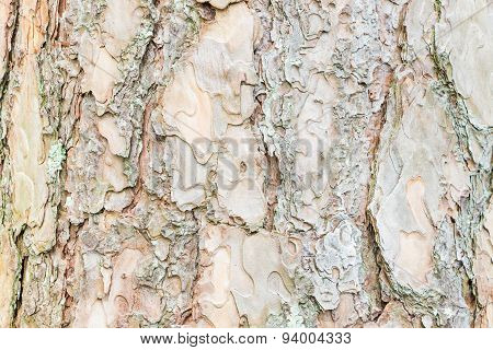 Close up Bark of Pine Tree  texture background