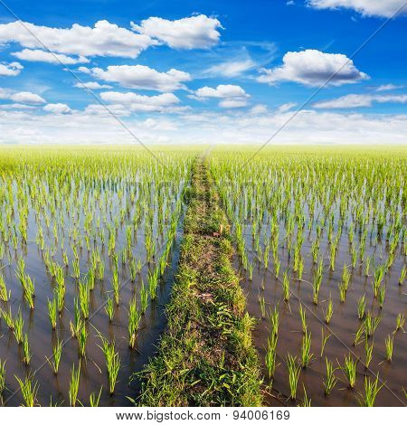 Field Paddy Rice With White Clouds Blue Sky