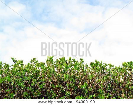 Privet Hedge and sky background