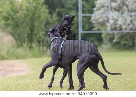 Black Great Dane Dogs Are Are Playing