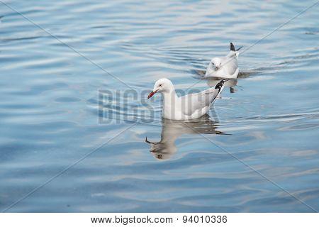 Sea Gull Paddling on Water