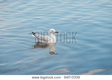 Sea Gull on Water