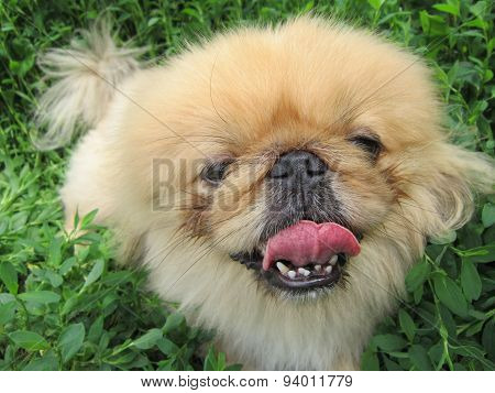 The little shaggy dog of breed a Pekinese has flicked out tongue language