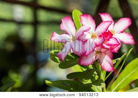Closeup Of Pink Desert Rose Or Impala Lily .
