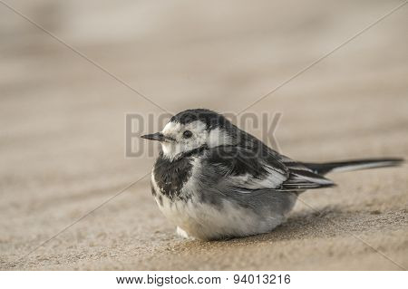 Pied wagtail