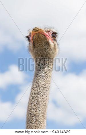 Ostrich in bottom view
