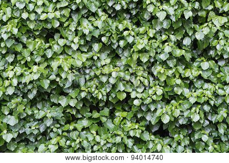 Lush And Green Ivy, Hedera Helix, At A Wall, Background Texture