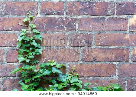 Ivy And Aerial Rootlets At A Brick Wall, Background  Power Of Nature