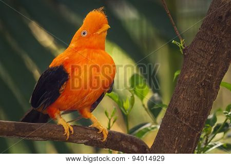 Orange colorful bird, Cotinga, Cock on the rock