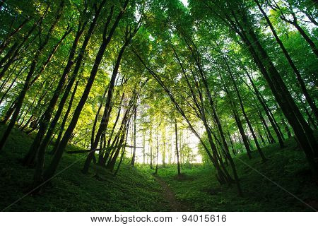 Mystical Summer Green Forest In Backlit Of Sun