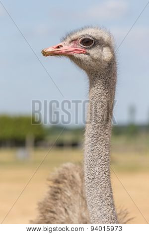 Ostrich from the front