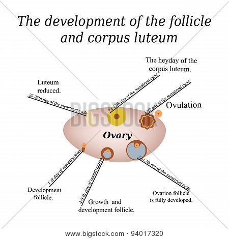It shows the development of ovarian follicle and corpus luteum. Vector illustration on isolated back