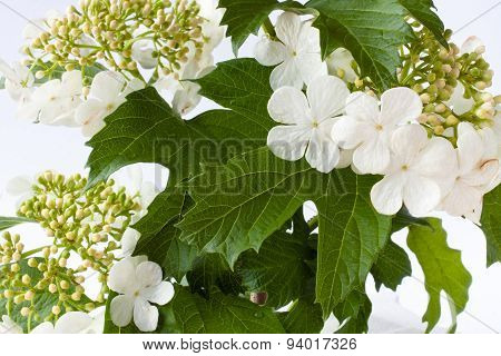 Blooming Snowball Tree (viburnum Opulus) On White
