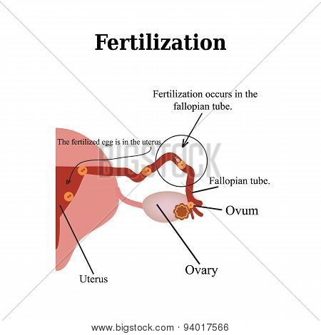 Fertilization. Vector illustration isolated on a white background