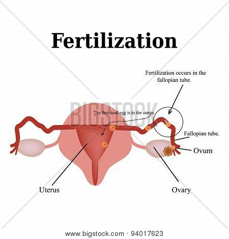Diagram of the structure of the pelvic organs. Fertilization. Vector illustration on isolated backgr