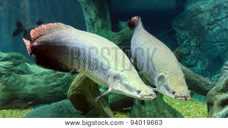 large Arapaima in the Amazon under water
