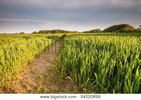 Springtime Wheat Field