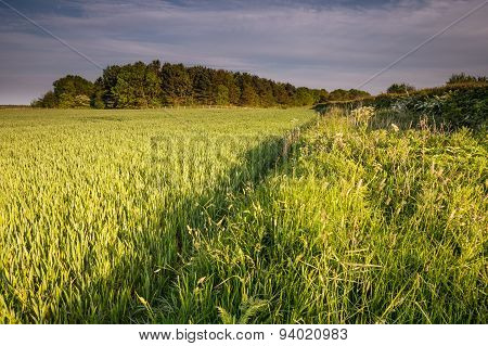 Wheat Crop In Springtime