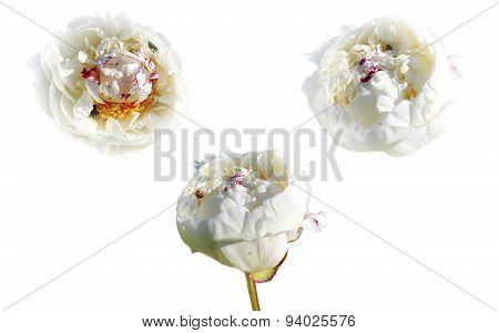 three white peony on white background