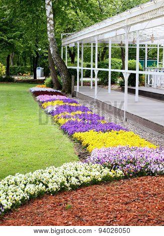 Blooming Pansies