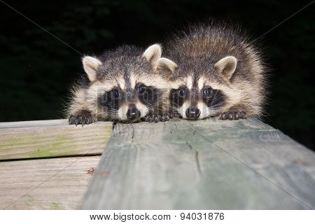 Two Baby Raccoons