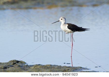 Black-winged Stilt Bird In Pottuvil, Sri Lanka