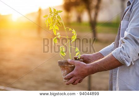 Senior man planting seedlings