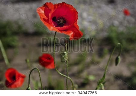 Colorful meadow with poppies