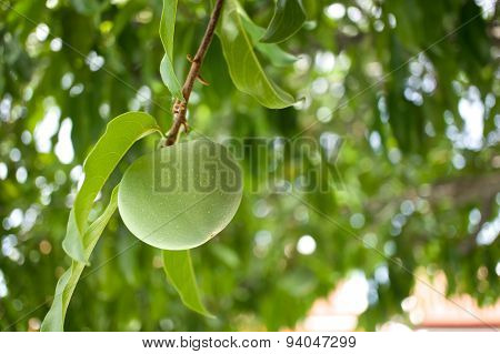 Diospyros Decandra Lour Or Gold Apple