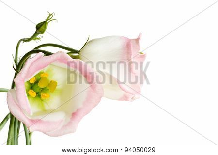 Beautiful lisianthus flowers on white
