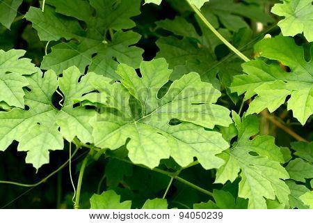 Balsam-apple Leaf