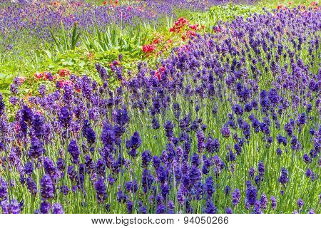 Summery Flower Bed With Lavender And Roses