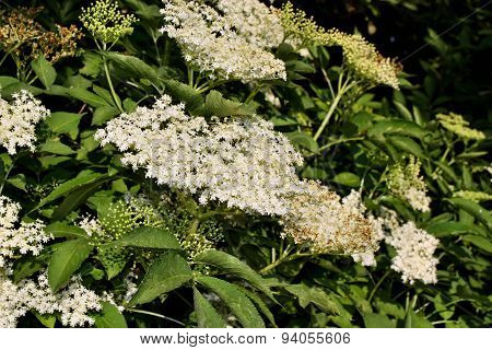 European Black Elderberry