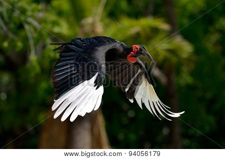 hornbill flying outdoor