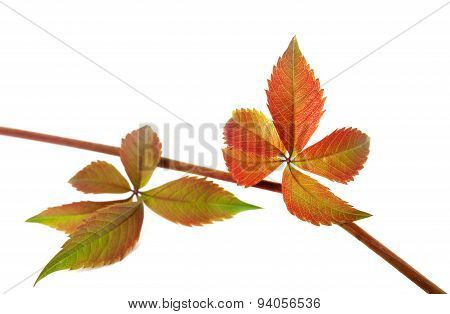 Red autumn branch of grapes leaves  Isolated on white backgrou