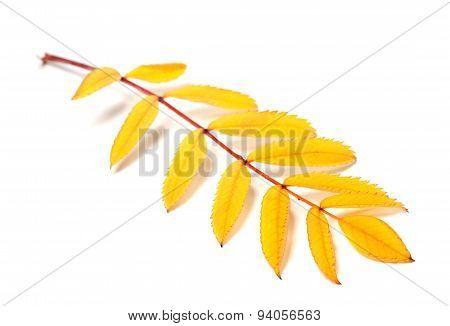 Yellow Autumn Rowan Leaves On White Background
