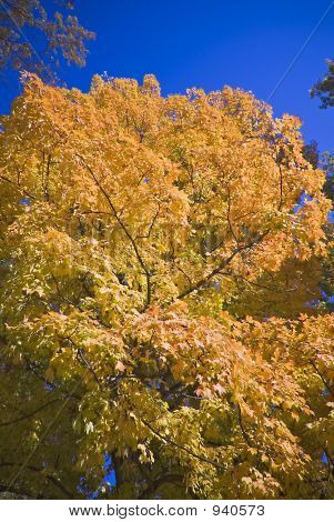 Glowing Autumn Maple