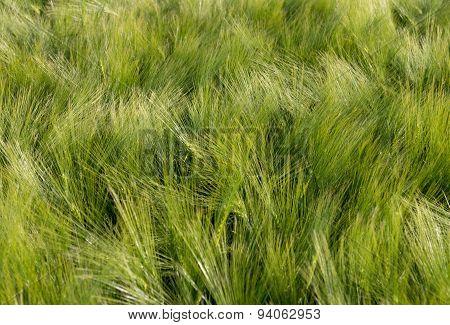 Green Field - Close-up
