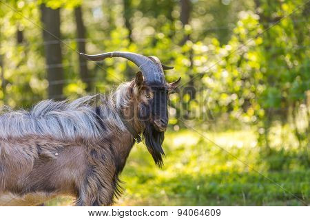Beautiful Portrait Of Goat Male On Pasture