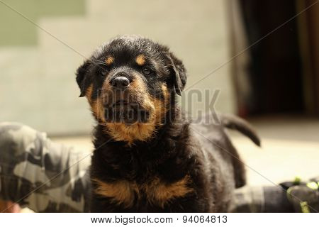 Beautiful Rottweiler puppy, age six weeks
