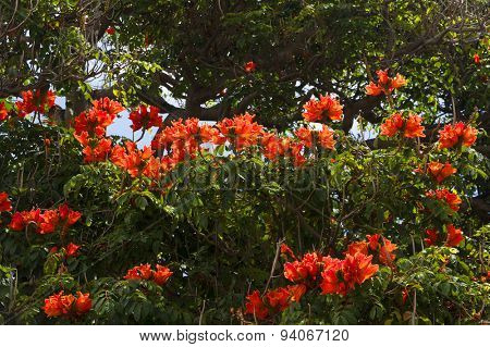 Red tree flowers in Funchal, Madeira, Portugal