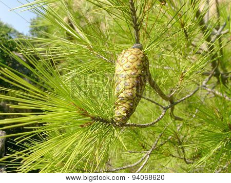 Pine Branch With Young Green Cones