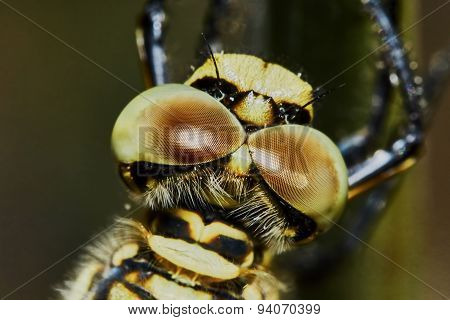 The head of a dragonfly