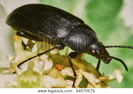 Black beetle o