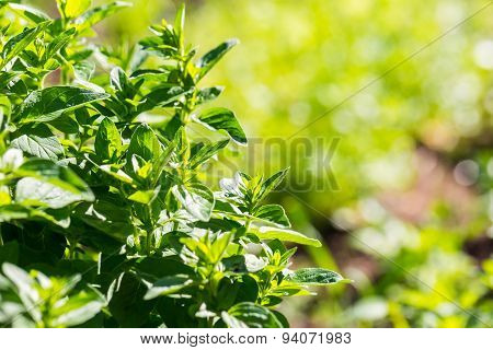 Green Oregano Twigs Growing In Garden