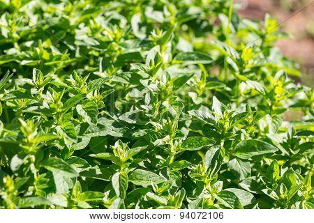 Green Oregano Twigs Growing In Garden